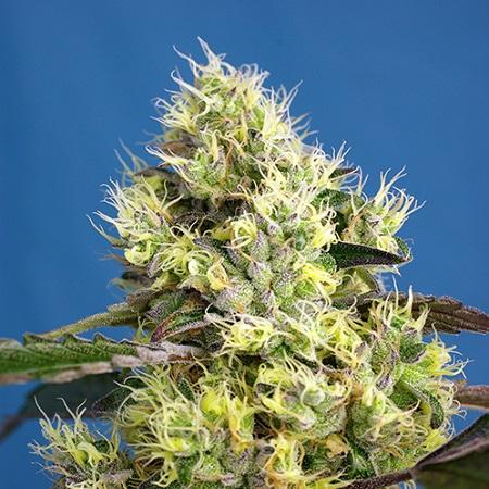 Sweet Seeds Sweet Gelato Auto® Feminized