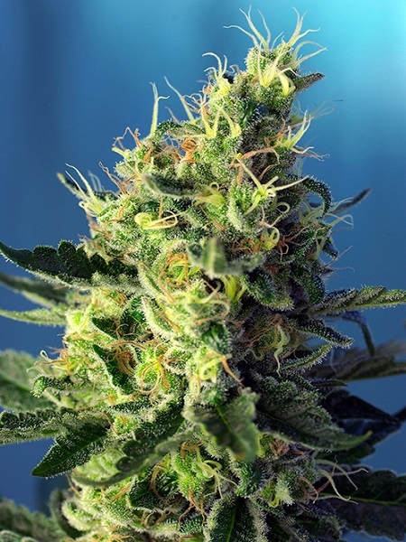 Sweet Seeds Sweet Pure CBD® Feminized