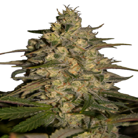 Seedmakers Seeds Silver Jack Feminized