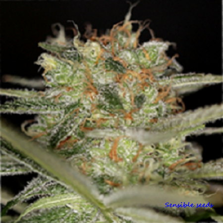 Sin City Seeds The REM Regular