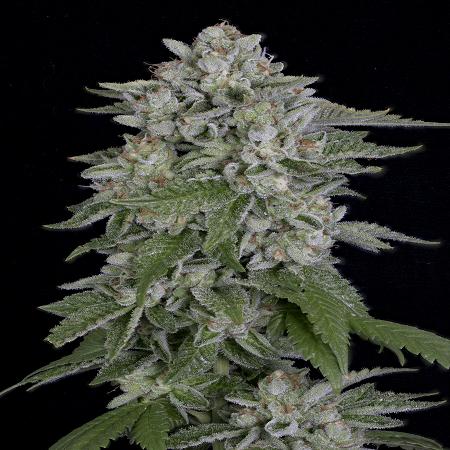 Skywalka Cookies - Feminized - Big Head Seeds