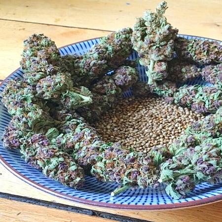 So Purple - Feminized - Soma Seeds