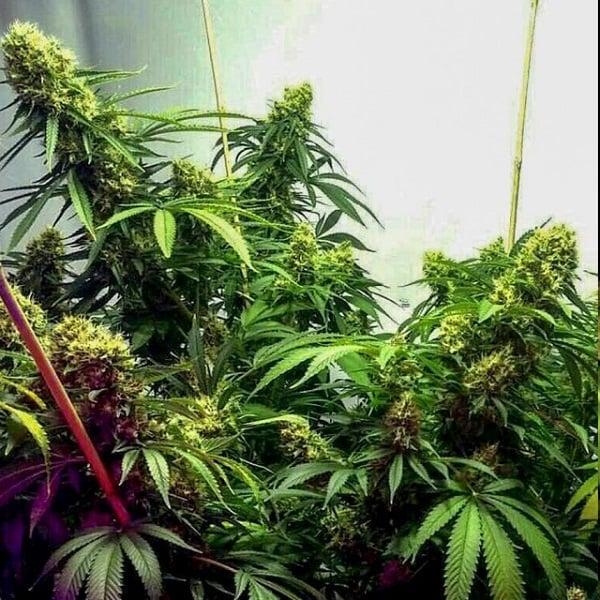 Holy Smoke Seeds Strawberry Diesel Feminized