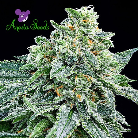 Strawberry Tree - Feminized - Anesia Seeds