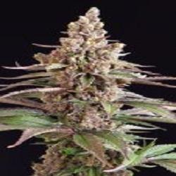 Sagarmatha Seeds Stuporsonic Regular