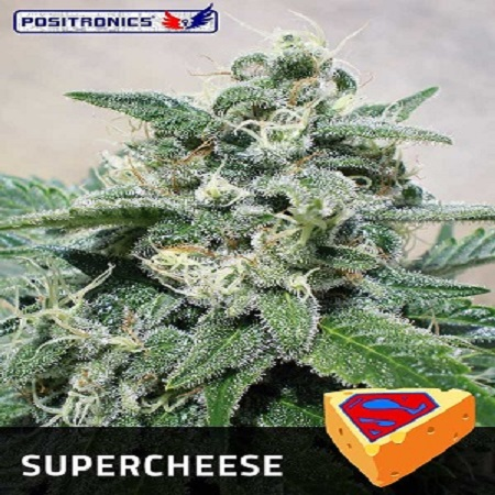 Positronics Seeds Supercheese Feminized