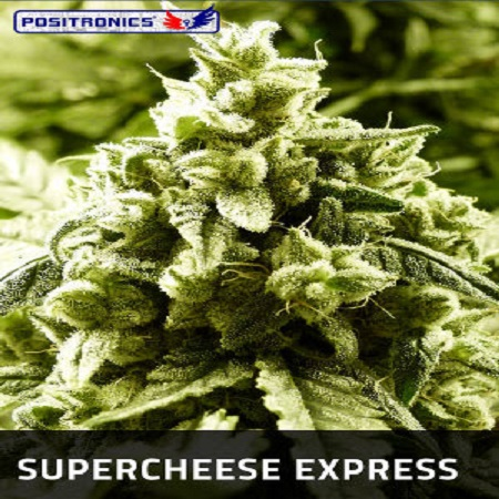 Positronics Seeds Supercheese Express Auto Feminized