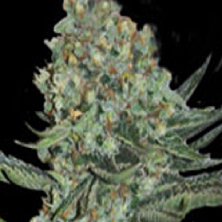 Super Strains Enemy Of The State Feminized (PICK N MIX)