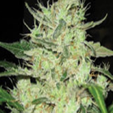 Super Strains Next of Kin Feminized (PICK N MIX)