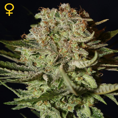 Green House Seeds Super Bud Feminized