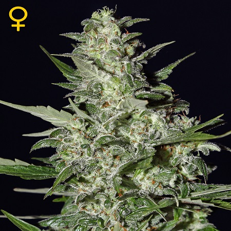 Green House Seeds Super Critical Auto Feminised