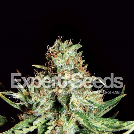 Expert Seeds Sweet Cream Auto Feminized