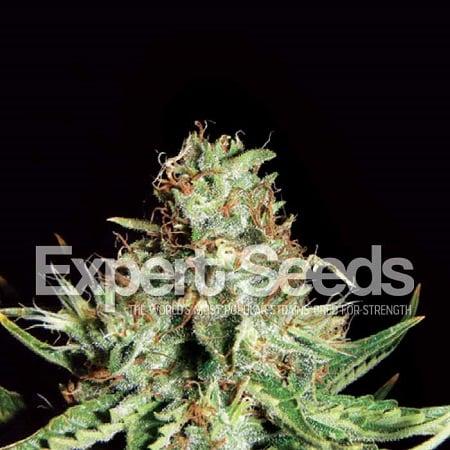 Sweet Cream Auto – Feminized – Expert Seeds