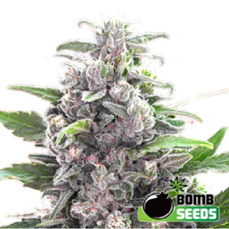 Bomb Seeds THC Bomb Regular