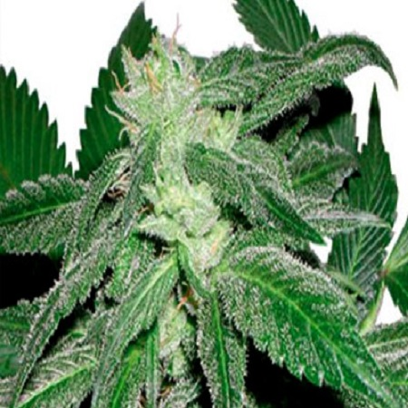 CannaBiogen Seeds Taskenti Regular