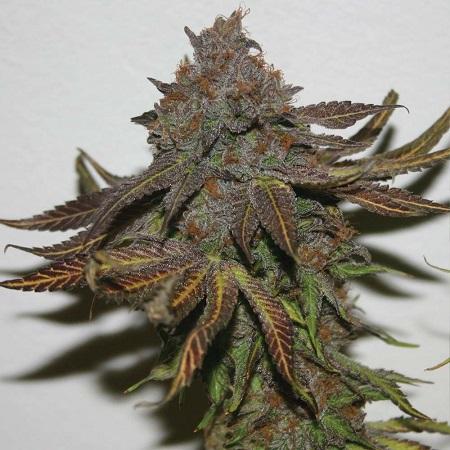 Terpzookie - Regular - True Canna Genetics