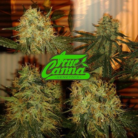 True Canna Genetics Seeds The Truth Regular