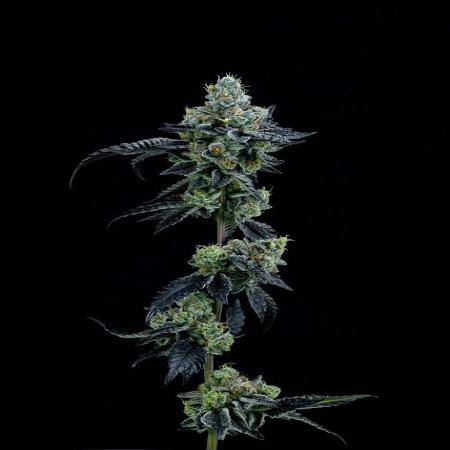 Thin Mint Girl Scout Cookies - Feminized - Elev8 Seeds
