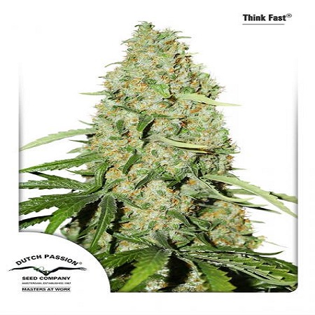 Dutch Passion Seeds Think Fast Feminized