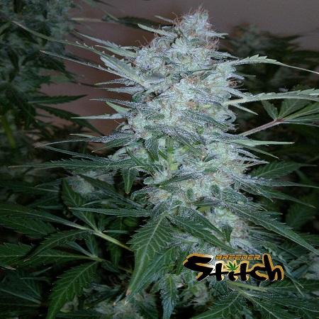 White Sirius - Regular - Flash Seeds