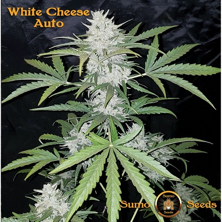 Sumo Seeds Auto White Cheese Feminized