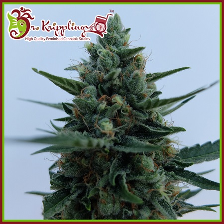Dr Krippling Seeds White Rush Auto Feminized