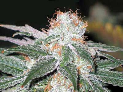 Sensible Seeds Premium Selection Wicked Widow Feminized