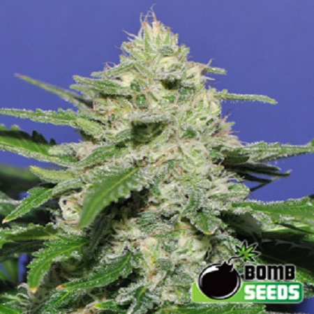 Bomb Seeds Widow Bomb Regular