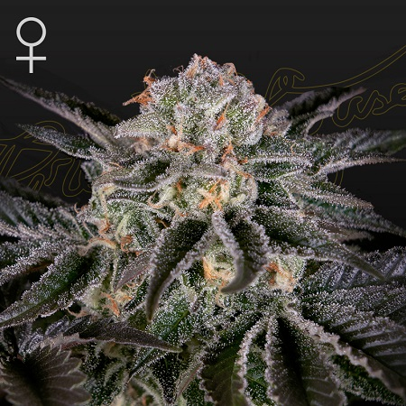 Wonder Pie - Feminized - Green House Seed Co