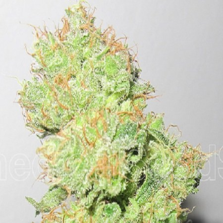 Medical Seeds Y Griega CBD Feminized