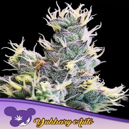 Yuhbary Auto - Feminized - Anesia Seeds
