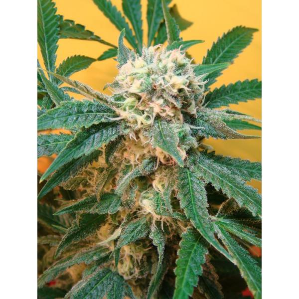 Mosca Seeds - Sonic Fly Regular