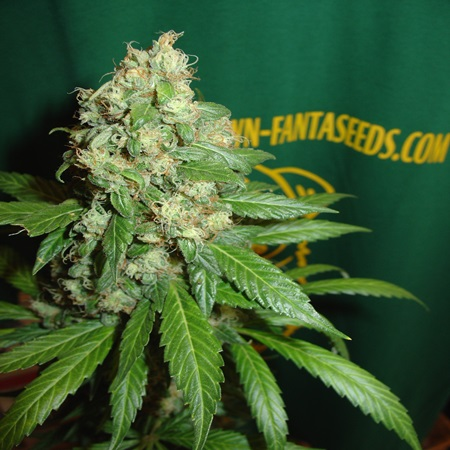 Homegrown Fantaseeds AC Diesel Regular
