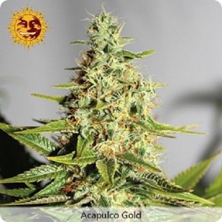 Barney's Farm Seeds Acapulco Gold Feminized