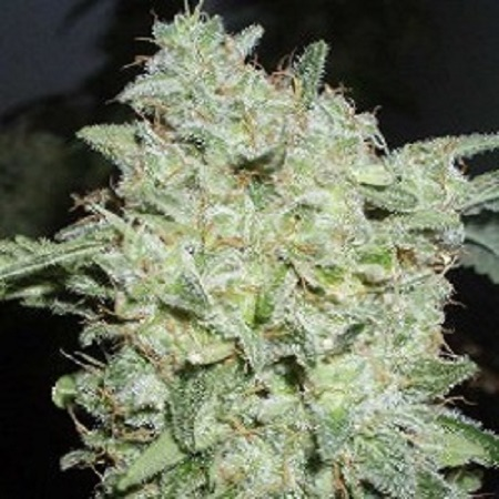 World of Seeds Legends Collection Afghan Kush Special Feminized