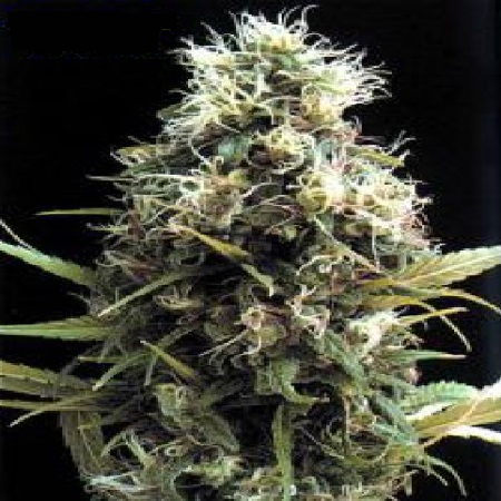 Bulk Seeds African Buzz Regular