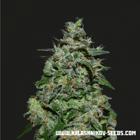 Kalashnikov Seeds AK Kush Express Feminized (PICK N MIX)