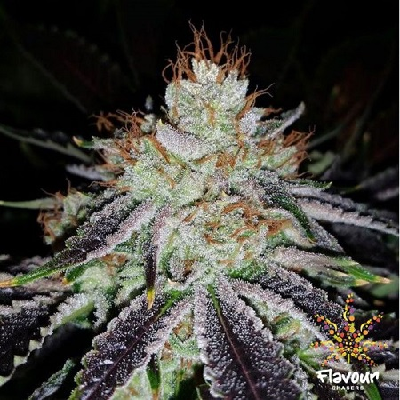 Flavour Chasers Seeds Alien Abduction Feminized