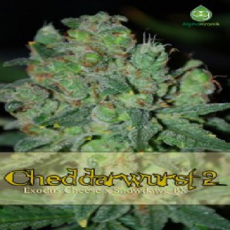 AlphaKronik Genes Seeds Cheddarwurst 2 Regular