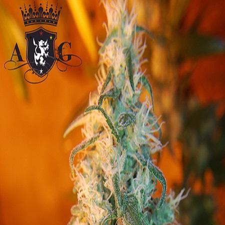 AlphaKronik Genes Seeds Nevada Privada Regular