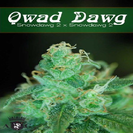 AlphaKronik Genes Seeds Qwad Dawg Regular