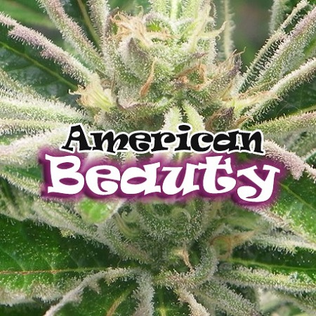 Dr Underground Seeds American Beauty Feminized