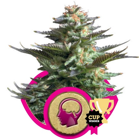 Royal Queen Seeds Amnesia Haze Feminized