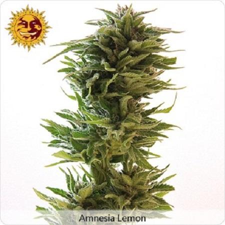 Barney's Farm Seeds Amnesia Lemon Feminized