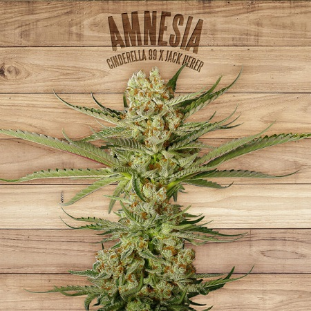 The Plant Organic Seeds Amnesia Feminized