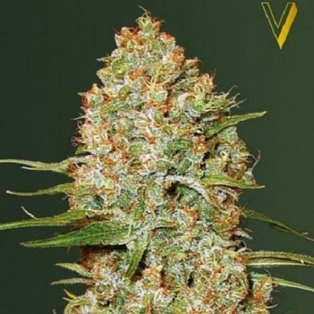 Amnesium - Feminized - Victory Seeds