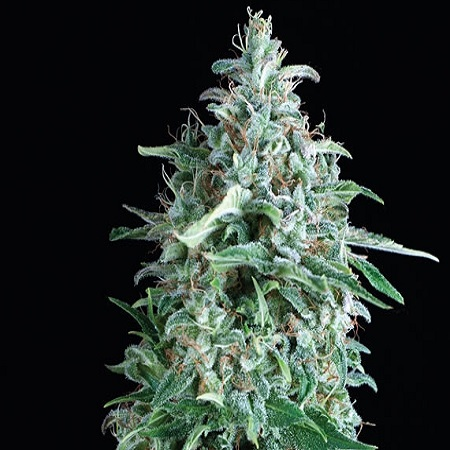 Pyramid Seeds  Anubis Feminized