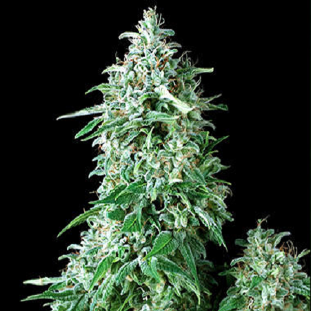 Pyramid Seeds Auto Anubis Feminised