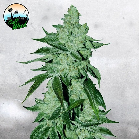 Girl Scout Cookies Auto - Feminized - Cali Weed