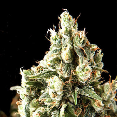Pyramid Seeds Auto Lennon Feminized (PICK N MIX)